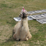 Llamas a hit at Canine Carnival
