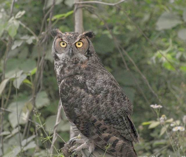 Great Horned Owl Pays Visit Mt Airy News
